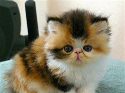 funky looking kitten_exotic shorthair cat in orange, white