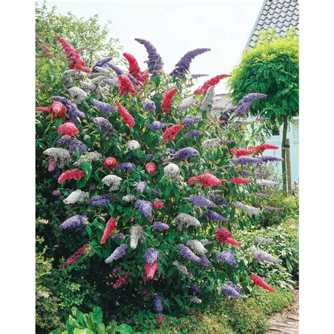 multi colored butterfly bush hill nurseries 4 in pot rainbow butterfly bush