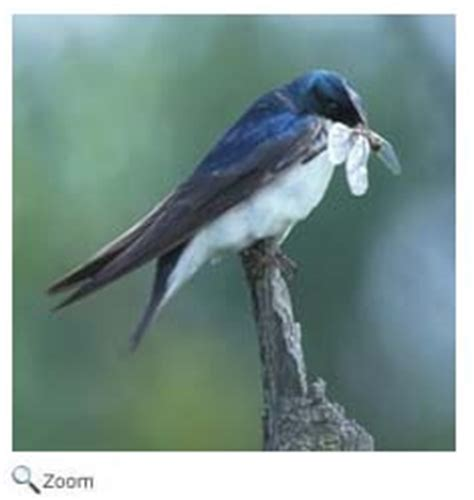tree swallow tachycineta bicolor wildlife journal junior