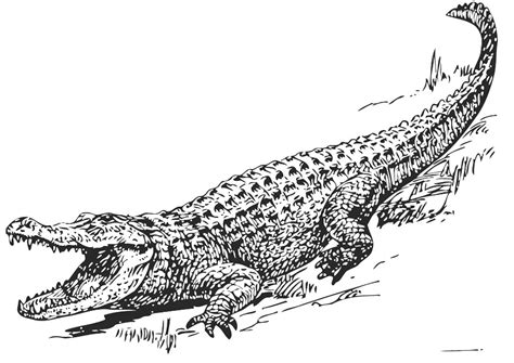 free coloring pages of alligator and crocodile