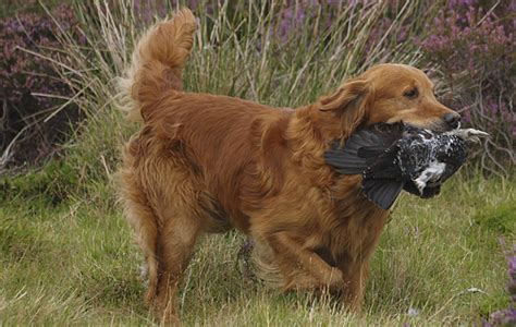 10 year golden retriever not retrievers is it time to change your labrador the field