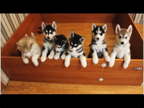 walking dead puppy edition the walking dead husky puppies edition funnydog tv