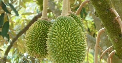 manfaat buah durian  efek sampingnya manfaat