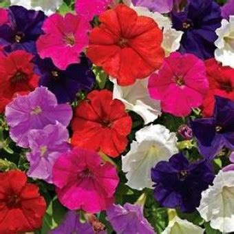 Benih Biji Bunga Petunia Phantom benih petunia 20 biji non retail bibitbunga
