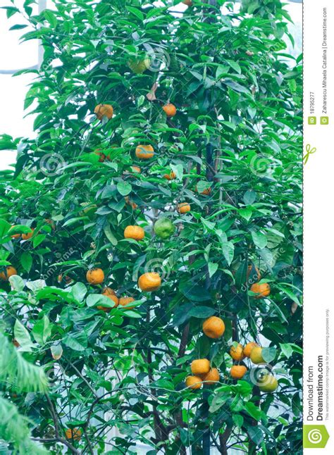 patio orange tree orange garden stock image cartoondealer 51237139