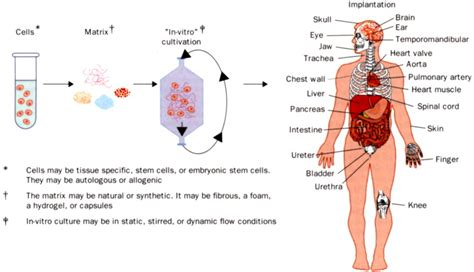 contoh biomaterial human body tissue diagram choice image how to guide and