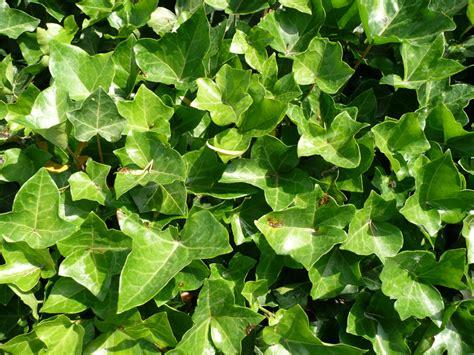 ist efeu winterhart gro 223 bl 228 ttriger irischer efeu hibernica hedera