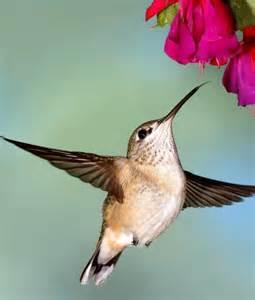 10 animals that pollinate flowers hummingbirds