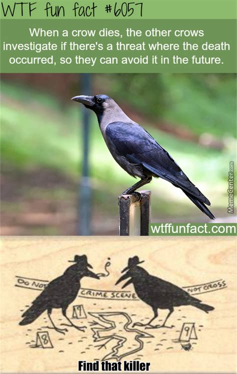 Crow Meme - crow memes best collection of funny crow pictures