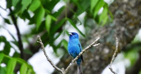 the indigo bunting new in the shop 2013 illustrated calendar the garden roof coop the indigo bunting