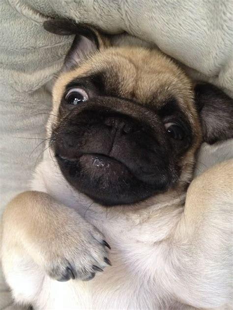 found pug derpy