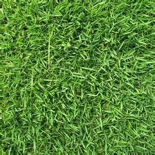 amazon.com : the dirty gardener zenith zoysia grass seed