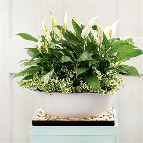 durable indoor plants   home canadian living