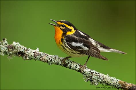 photo blackburnian warbler singing