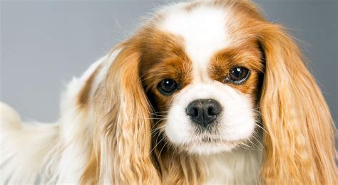 Cavalier King Charles Spaniel Dog Breed Information ...