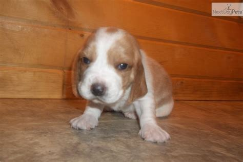 miniature basset hound puppies for sale in basset hound puppy for sale near waterloo cedar falls iowa 41c235dd 9ed1