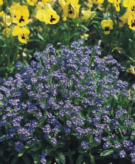 imagenes flores no me olvides paisaje con flores de nomeolvides im 225 genes y fotos