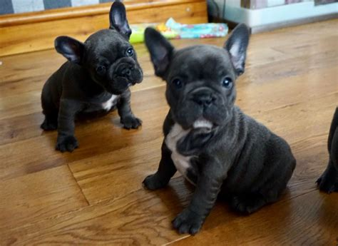 french bulldog for sale uk french bulldog puppies for sale 171 uk pets classified ads