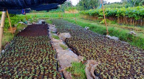 Jual Bibit Sengon Magelang bibit jual bibit pohon tanaman halaman 4