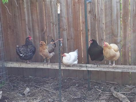 backyard poultry raising classes suburban homecraft