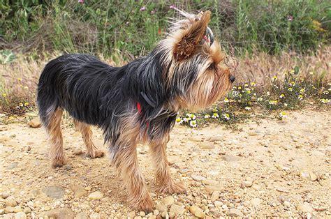 scottish yorkie scottish terrier terrier the broken hair scotch terrier