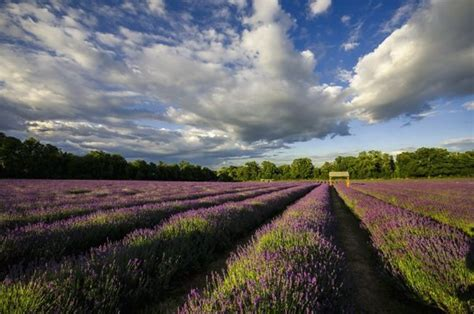 shelby michigan lavender maze this lavender maze in michigan will your mind