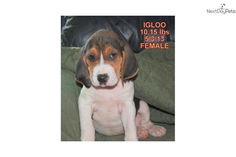 treeing walker coonhound puppies for sale tree walking coonhounds for sale in mn picture breeds picture