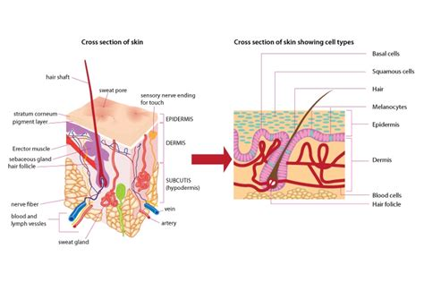 skin section diagram skin structure science learning hub