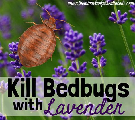 does lavender repel bed bugs the miracle of essential oils