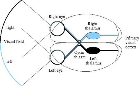 visual cortex diagram sight project anatomy 2017 thinglink