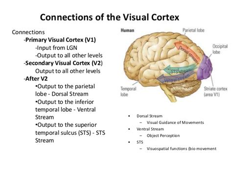 primary motor cortex function and location primary sensory cortex location and function primary motor