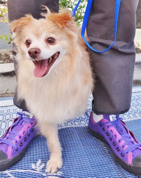 southern california pomeranian rescue southern california pomeranian rescue inc animal shelters irvine ca reviews