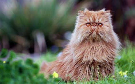 gatto persiani il gatto persiano il pelo lungo per eccellenza animali