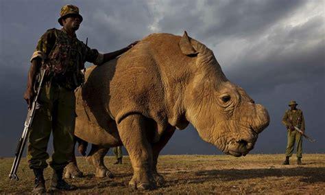 imagenes rinoceronte blanco kenia intenta proteger al 250 ltimo macho de rinoceronte