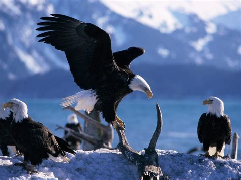imagenes 4k reales wings extended bald eagles wallpapers hd wallpapers id