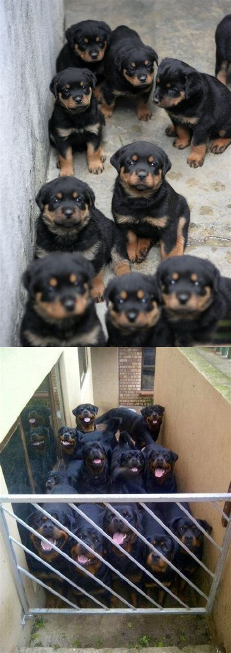 rottweiler jokes rottweiler then and now joke pictures