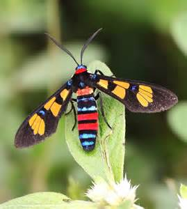 colorful moth libutron colorful insect 169 karthik jp an asian wasp moth