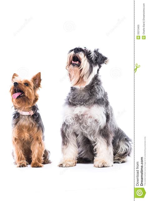 yorkie and schnauzer yorkie and schnauzer looking at blank copyspace royalty free stock photo image 33213455