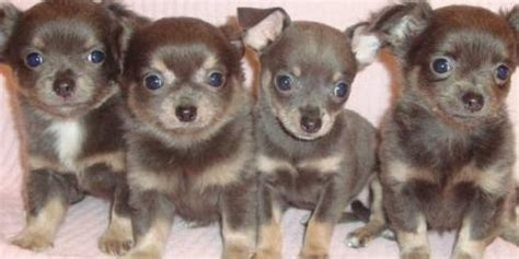 blue applehead chihuahua puppies for sale blue chihuahua puppy pictures of the blue chihuahua