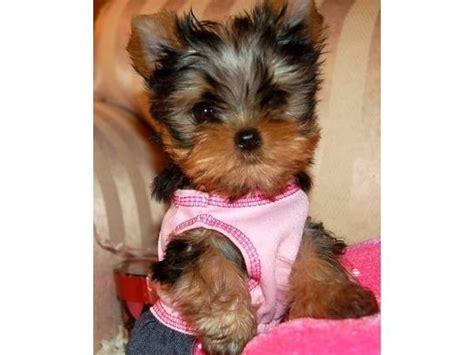yorkie terrier mini en adopcion mini cachorros de terrier en juarez anuncios clasificados gratis