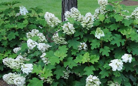 ruby slippers oakleaf hydrangea reviews buy ruby slippers oakleaf hydrangea for sale