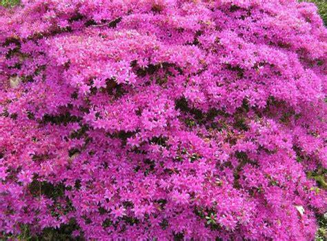 shrubs and flowers azalea flowering shrubs garden ideas