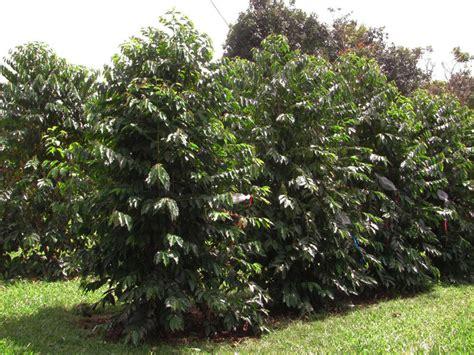 tanaman kopi ensiklopedi jurnal bumi