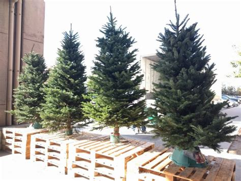 costco xmas trees noble fir fresh cut tree 2016
