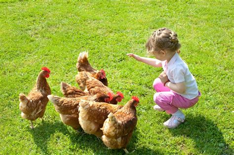 How To Keep Backyard Chickens 20 Convincing Reasons To Keep Backyard Chickens