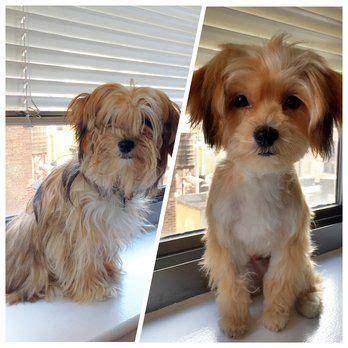 hairstyles for morkie morkie haircuts google search puppies pinterest