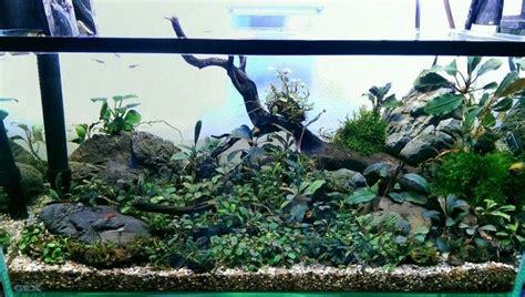 Aquascaping Tanks Bucephalandra Tank Plants Pinterest Aquariums