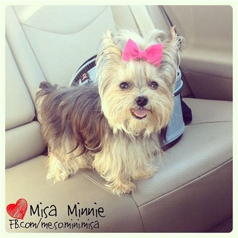 misa minnie yorkie best 25 misa minnie ideas on yorkie puppies yorkie cuts and