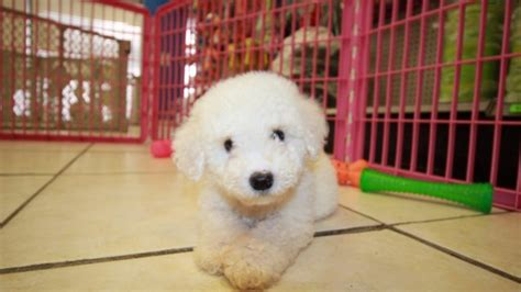 bichon frise puppies for sale in ga adorable bichon frise puppies for sale in ga at puppies for sale local breeders