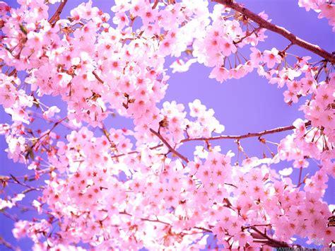 cherry tree background cherry blossoms wallpaper 2560x1920 29664